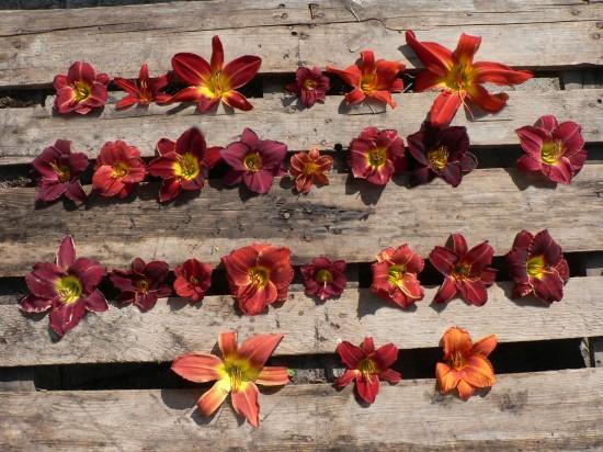 Taglilien – die Unermüdlichen
