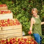 Jetzt wird's saftig: Die deutsche Apfelernte ist im vollen Gange