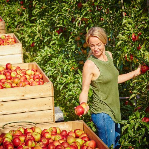 Jetzt wird´s saftig: Die deutsche Apfelernte ist im vollen Gange
