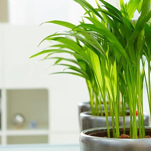 Zimmerpflanzen das gr ne medienhaus for Zimmerpflanzen trend