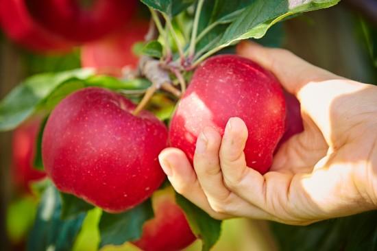 Trotz Allergie ist der Apfelgenuss möglich