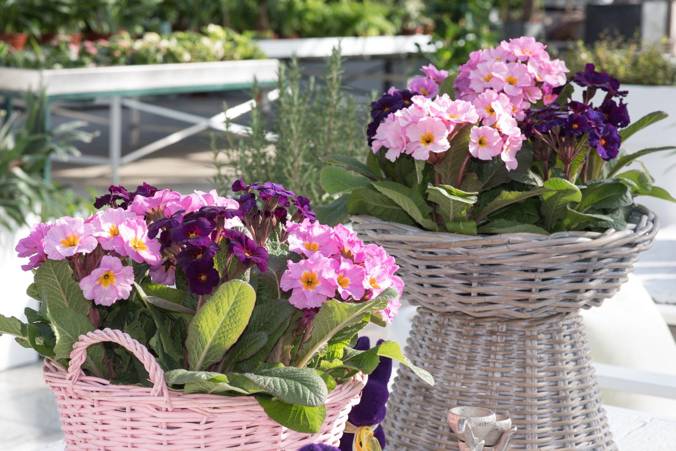 Primeln und Ranunkeln bringen den Frühling ins Haus