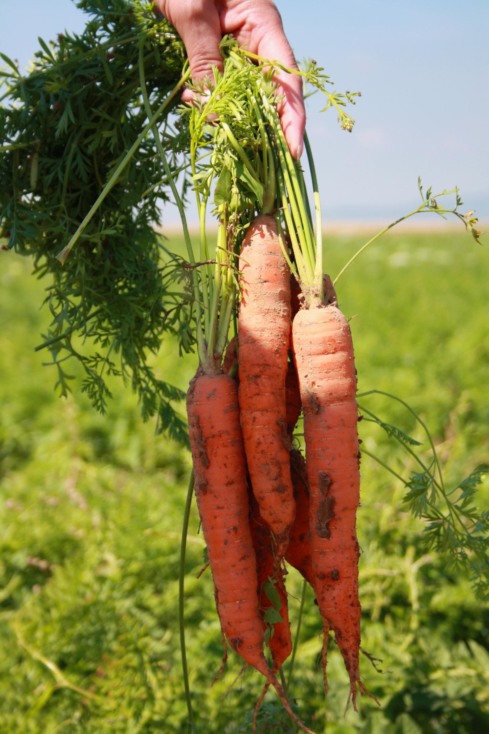 Orange und knackig – es gibt wieder frische Möhren