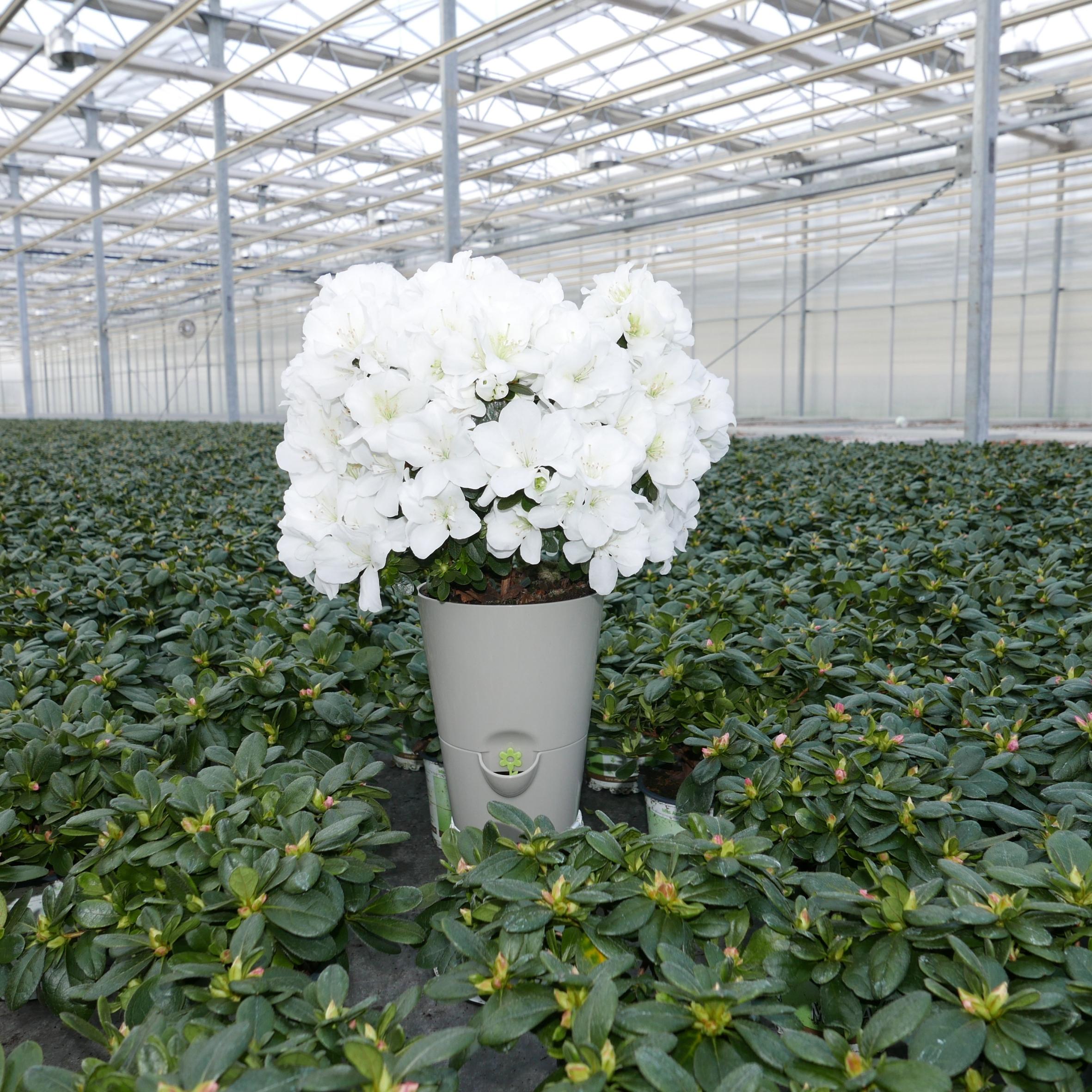 Gut feucht halten: Töpfe mit Wasserspeicher lassen Azaleen lange blühen