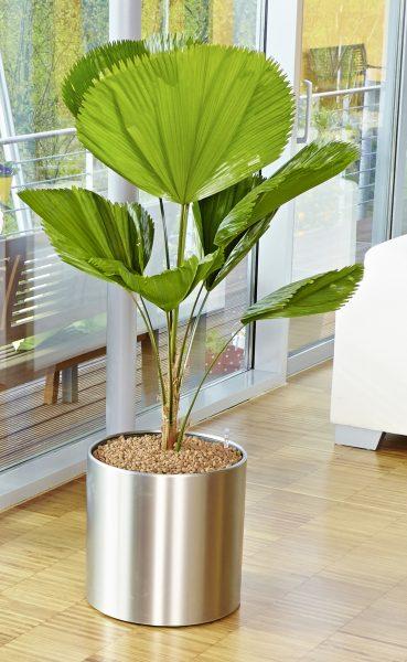 Je gr er desto besser diese zimmerpflanzen punkten mit xxl bl ttern das gr ne medienhaus - Dekorative zimmerpflanzen ...