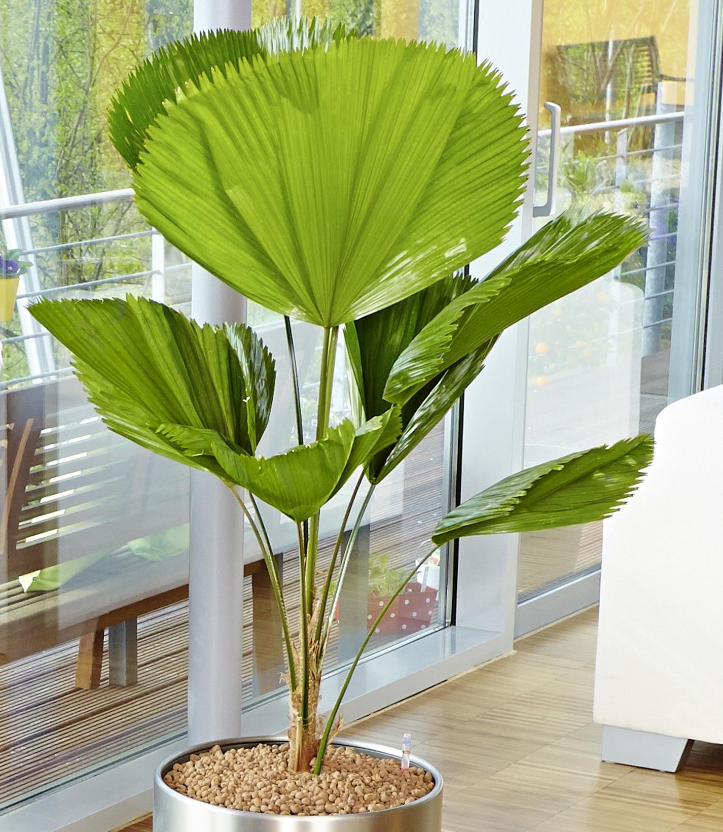 Je größer, desto besser: Diese Zimmerpflanzen punkten mit XXL-Blättern