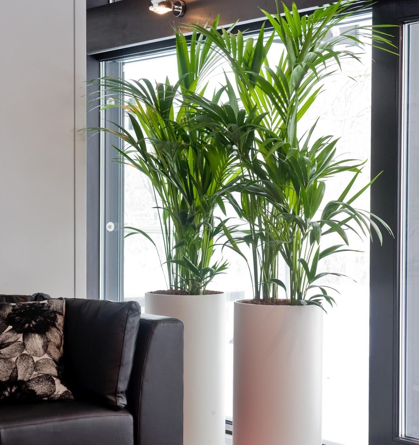 Kentia-Palme – die Pazifikschönheit eignet sich auch für Einsteiger