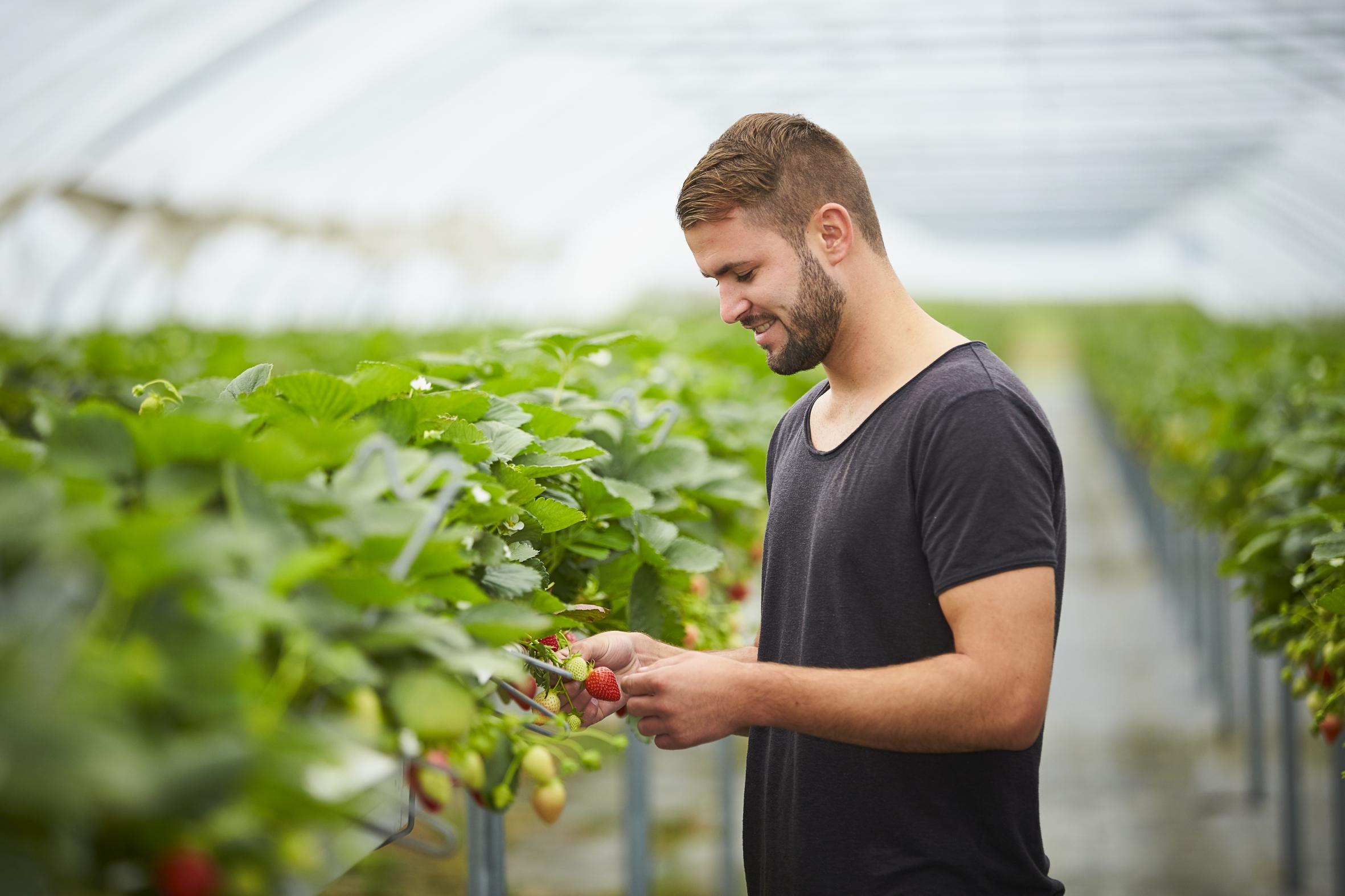 Warum der Erdbeeranbau im Tunnel gut für Mensch und Umwelt ist