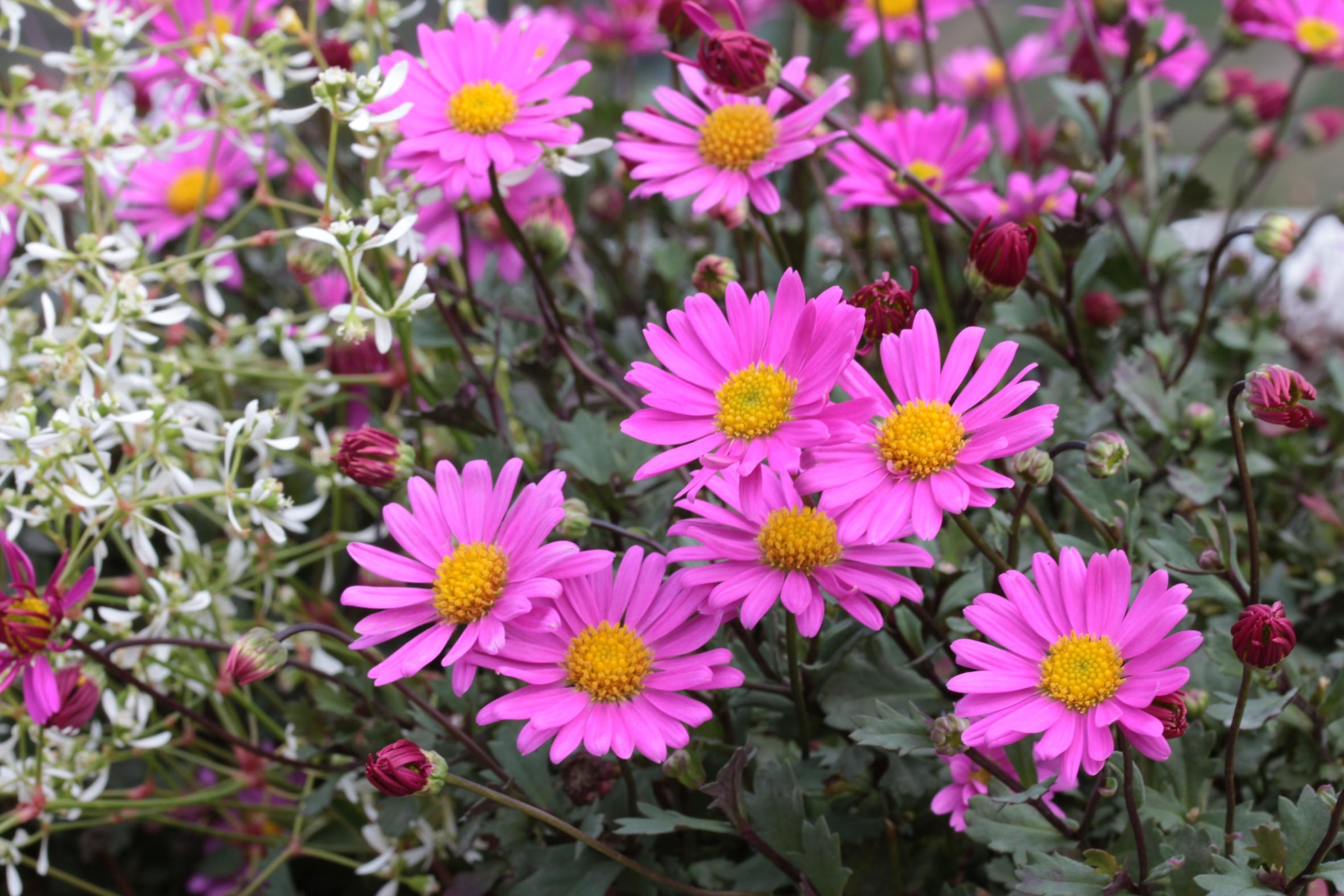 """Farbenfrohe Gute-Laune-Pflanze für den Balkon: """"Sweet Rosalie"""""""