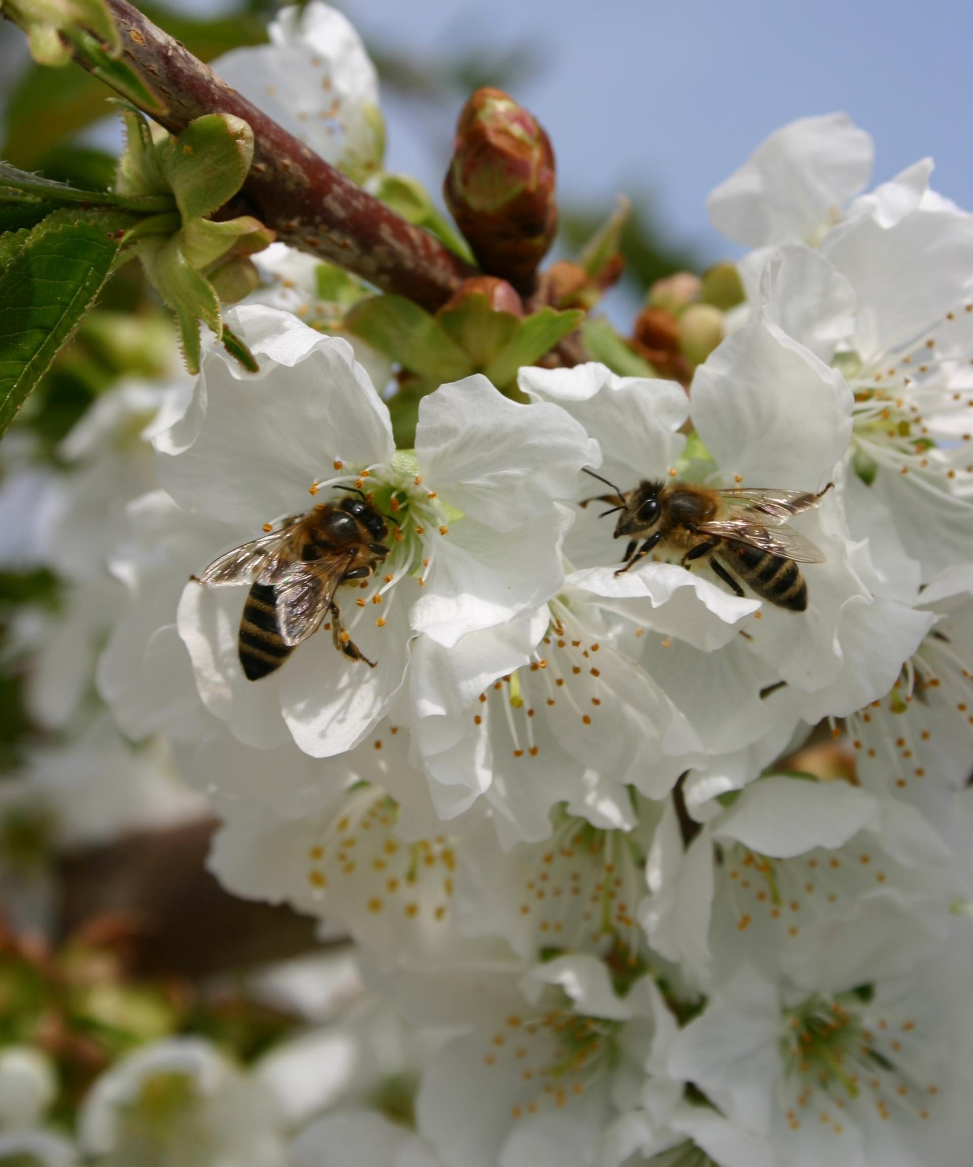 Deutsche Obstkulturen sind eine wichtige Nahrungsquelle für Bienen