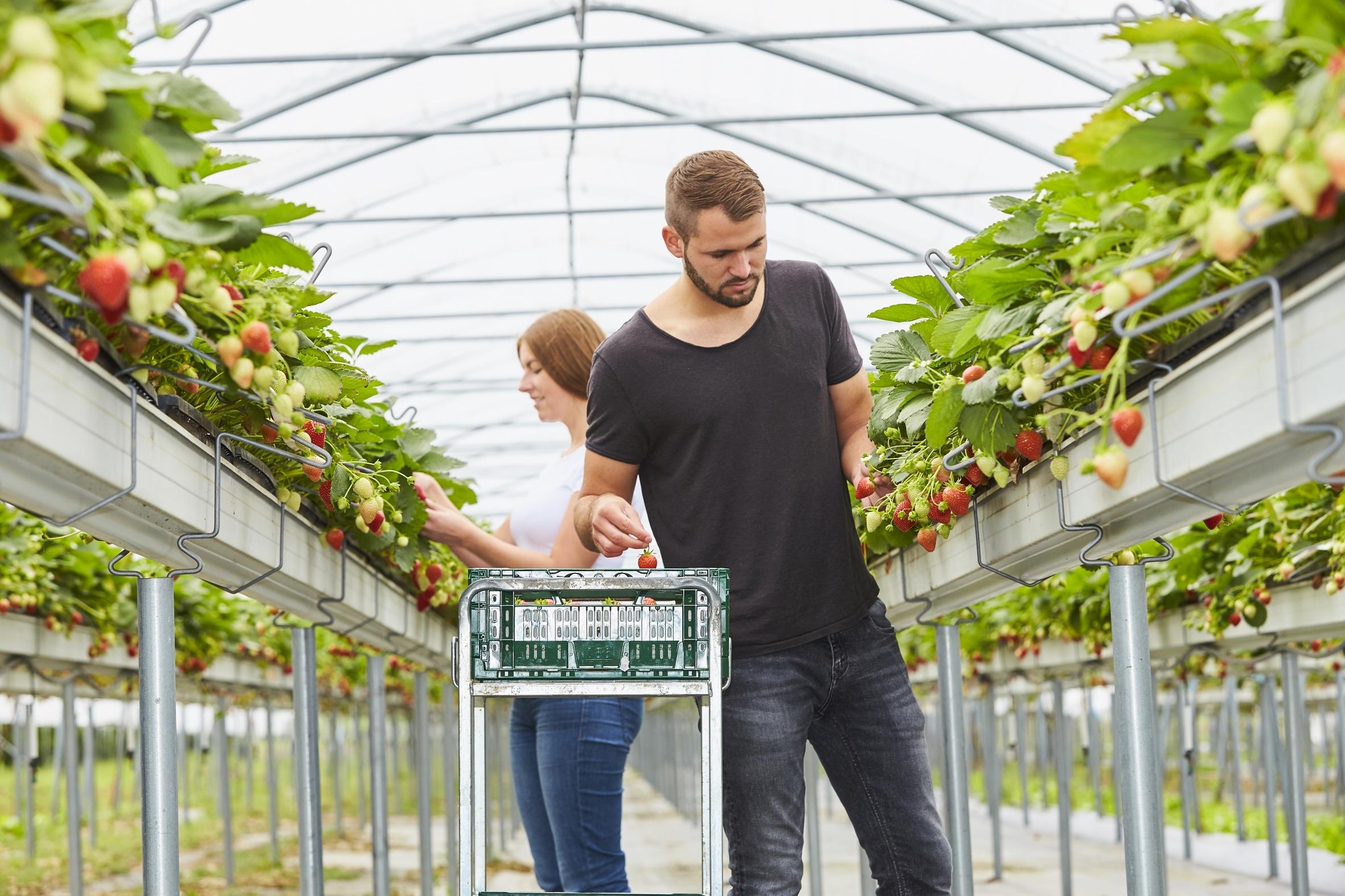 Süße Früchte aus handlicher Höhe: Erdbeer-Anbau in Pflanzrinnen erleichtert die Ernte