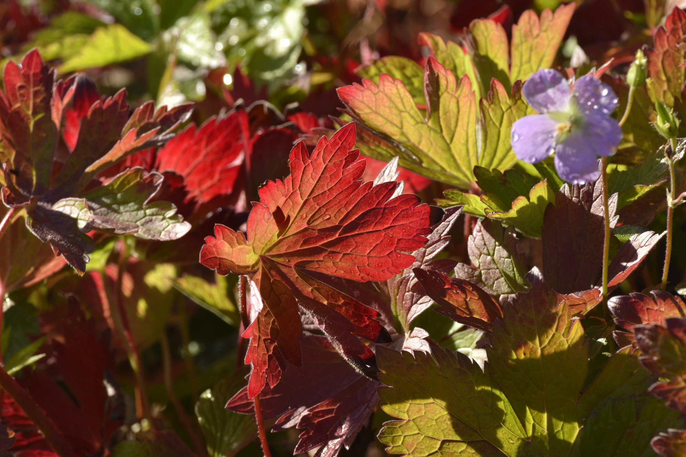 Die Farben des Herbstes: Stauden im leuchtenden Prachtgewand