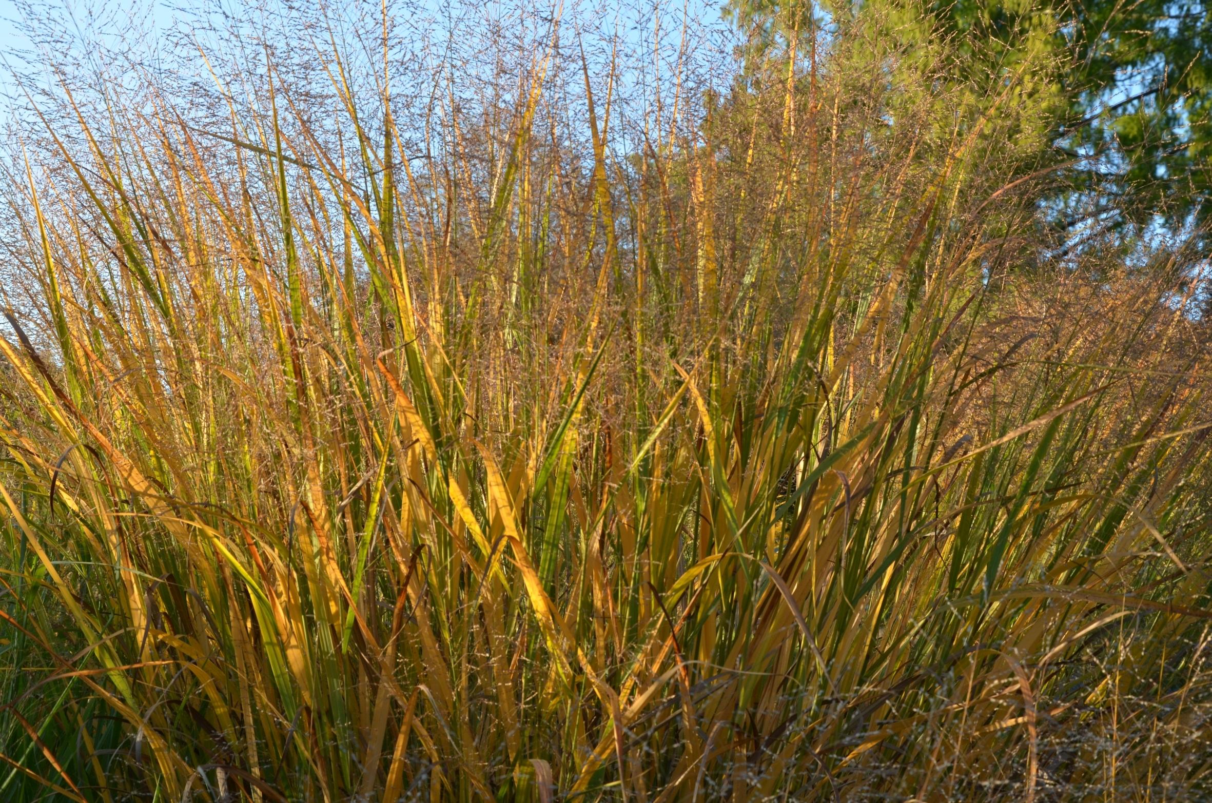 Staude des Jahres 2020: Rutenhirse – Ziergras mit Zukunft