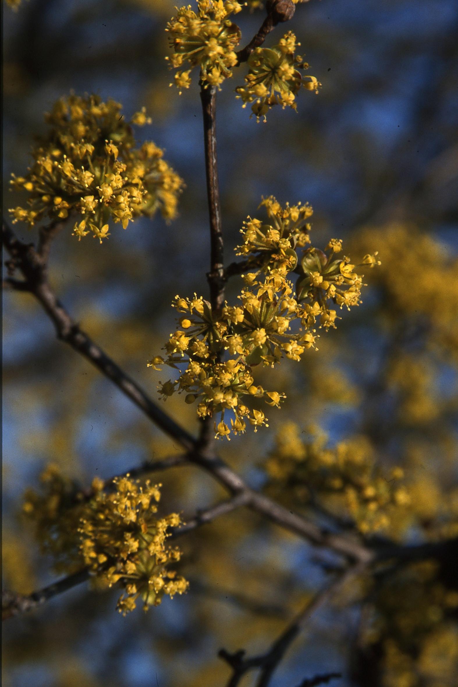 Diese Blütengehölze tun Menschen und Insekten gut