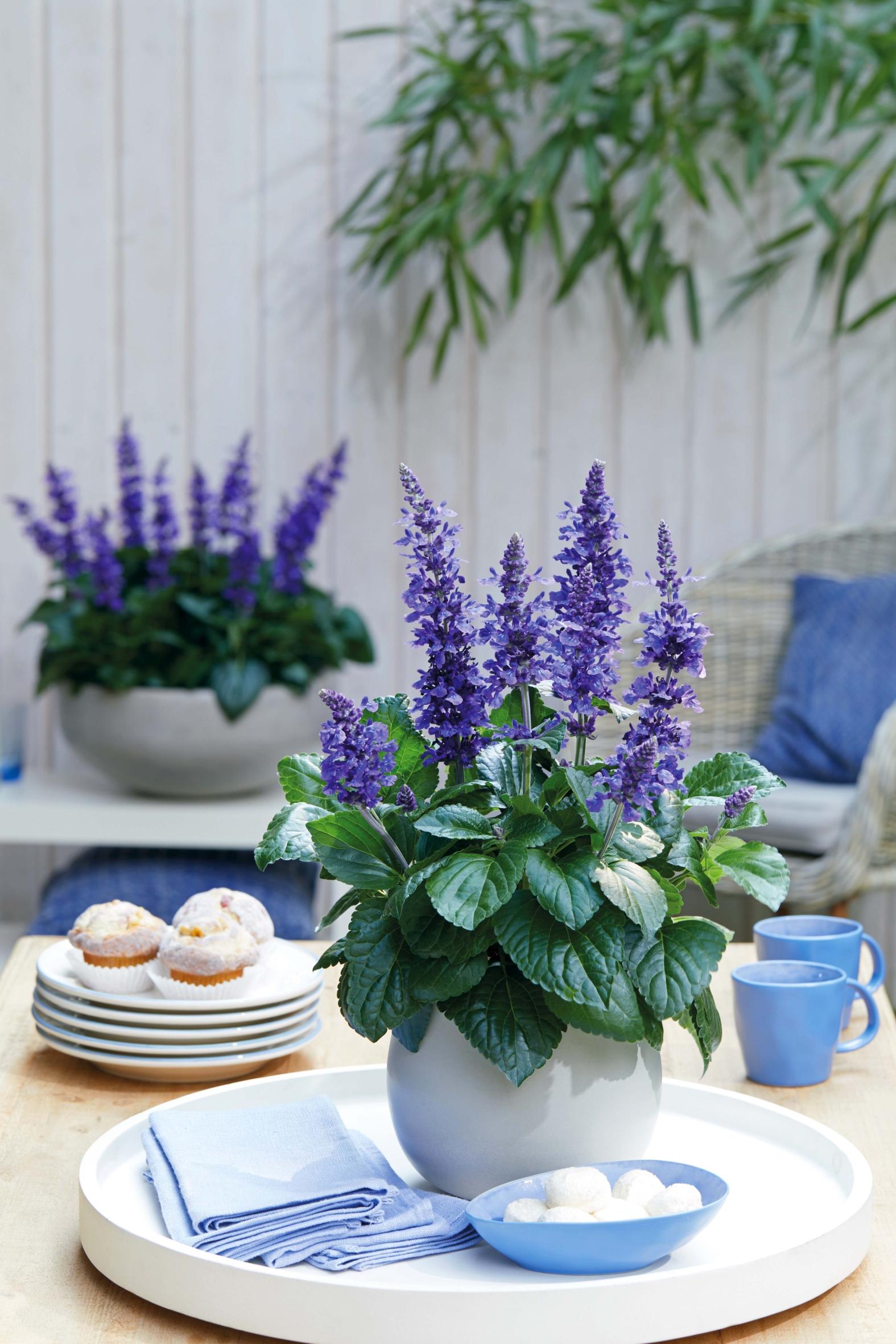 """Salvia """"Blue Honey"""" – Trendsetter nicht nur für Bienen"""