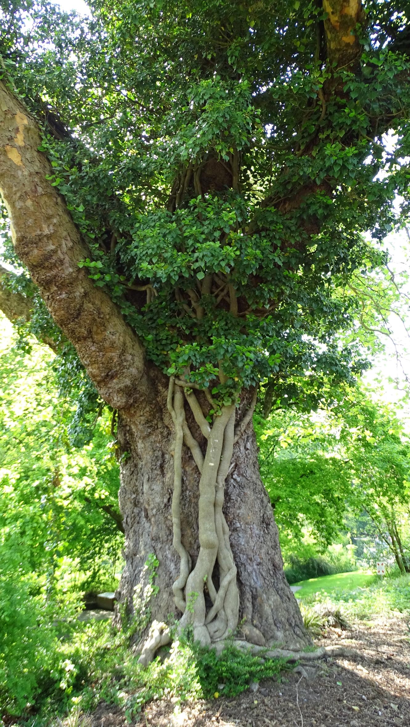 Baumbewuchs: Wann wird Efeu zum Problem?