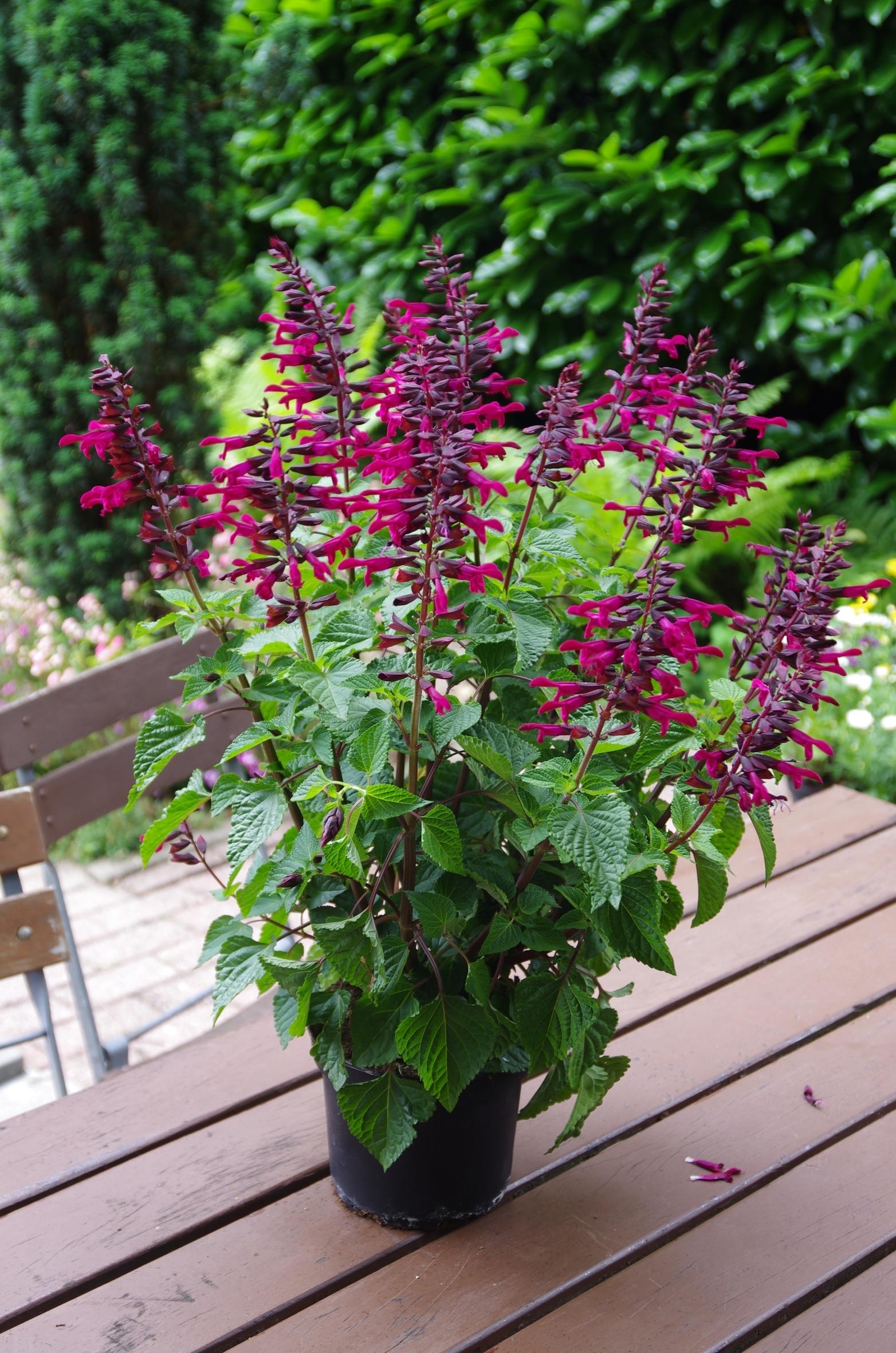 Salvia Rockin: Bienen lieben den Sommer-Salbei