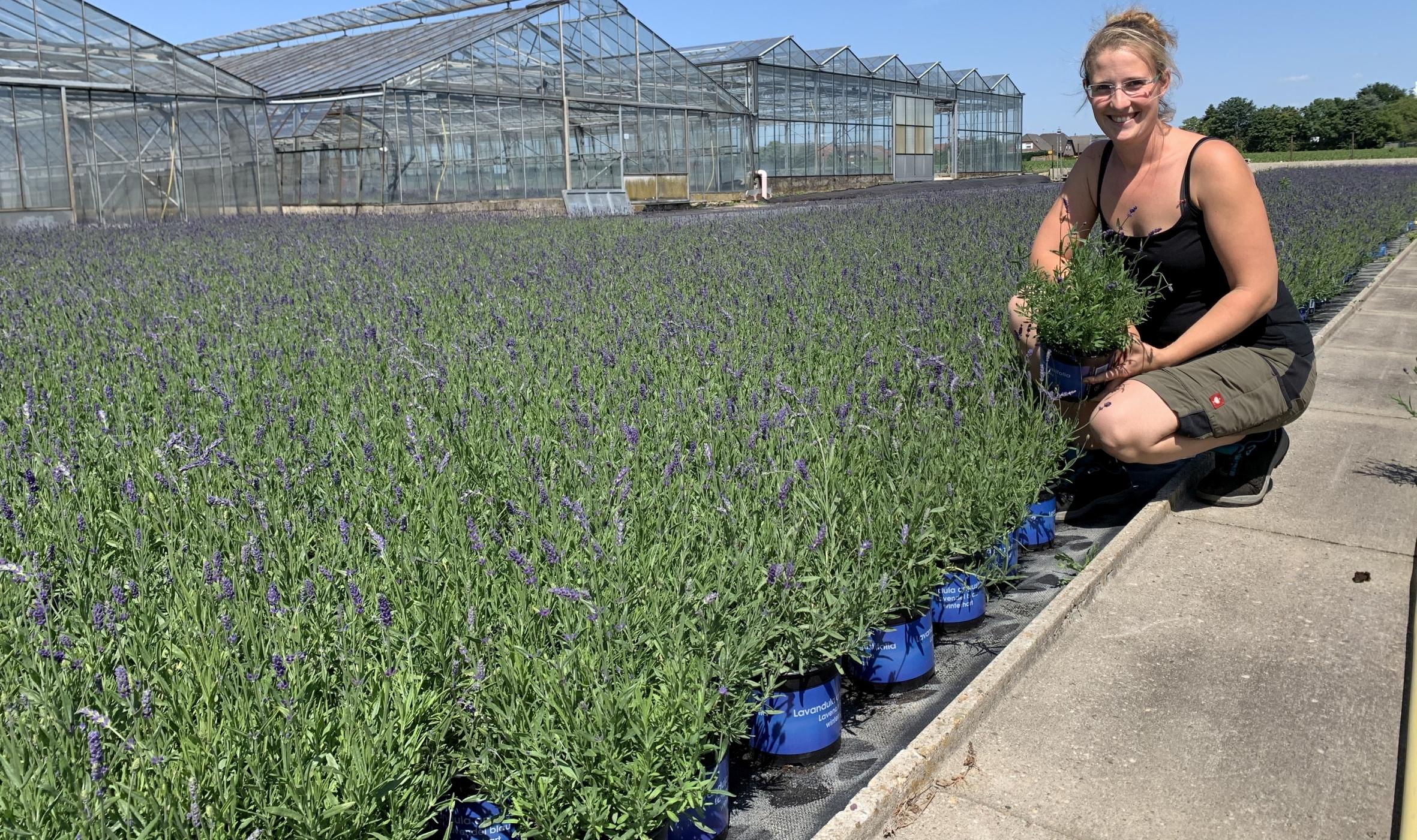 Hitzetolerant und bienenfreundlich: Lavendel vom Niederrhein punktet als Klimapflanze