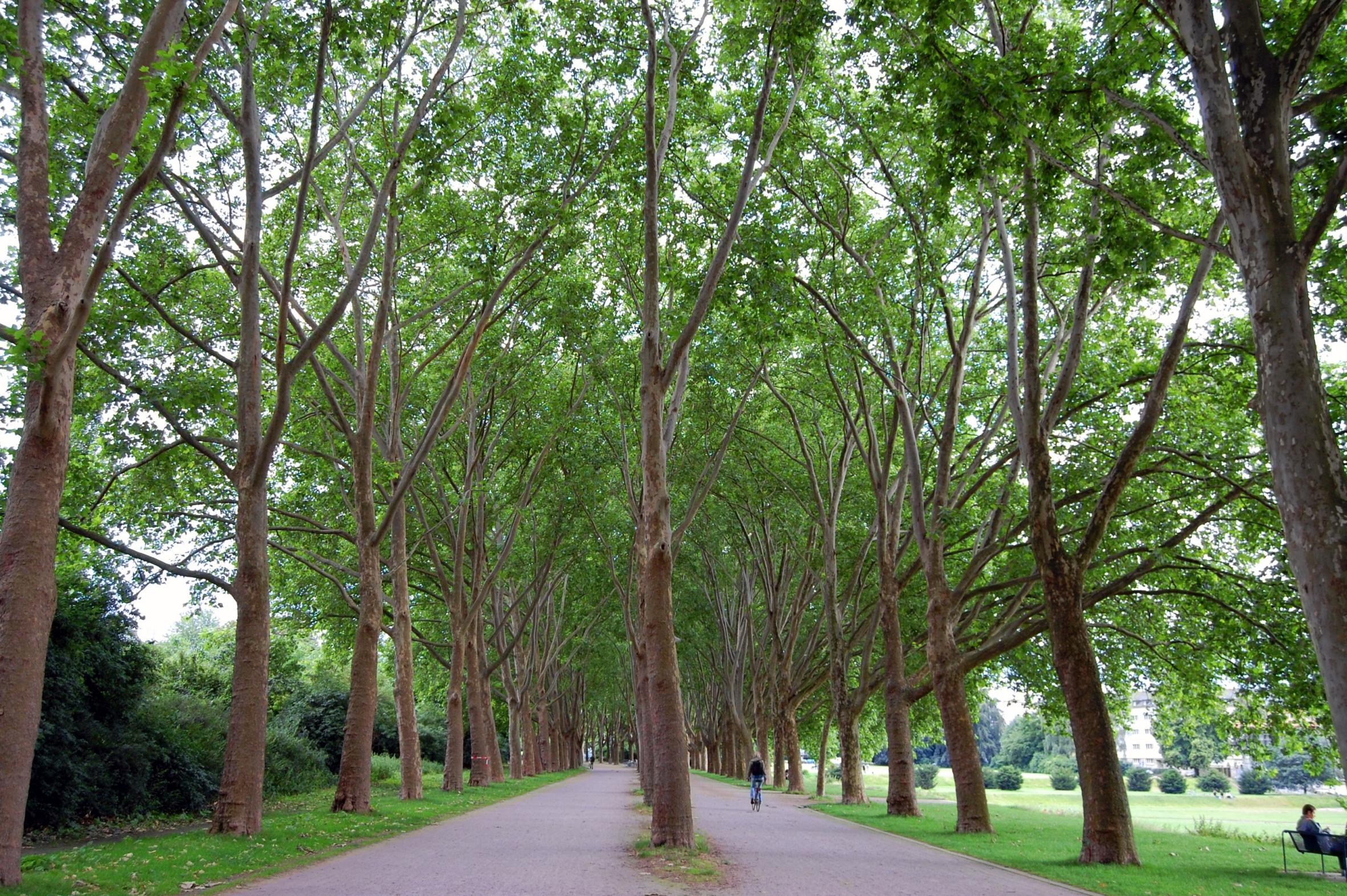 Sorgenkind Platane: Der beliebte Stadtbaum steht unter massivem Druck