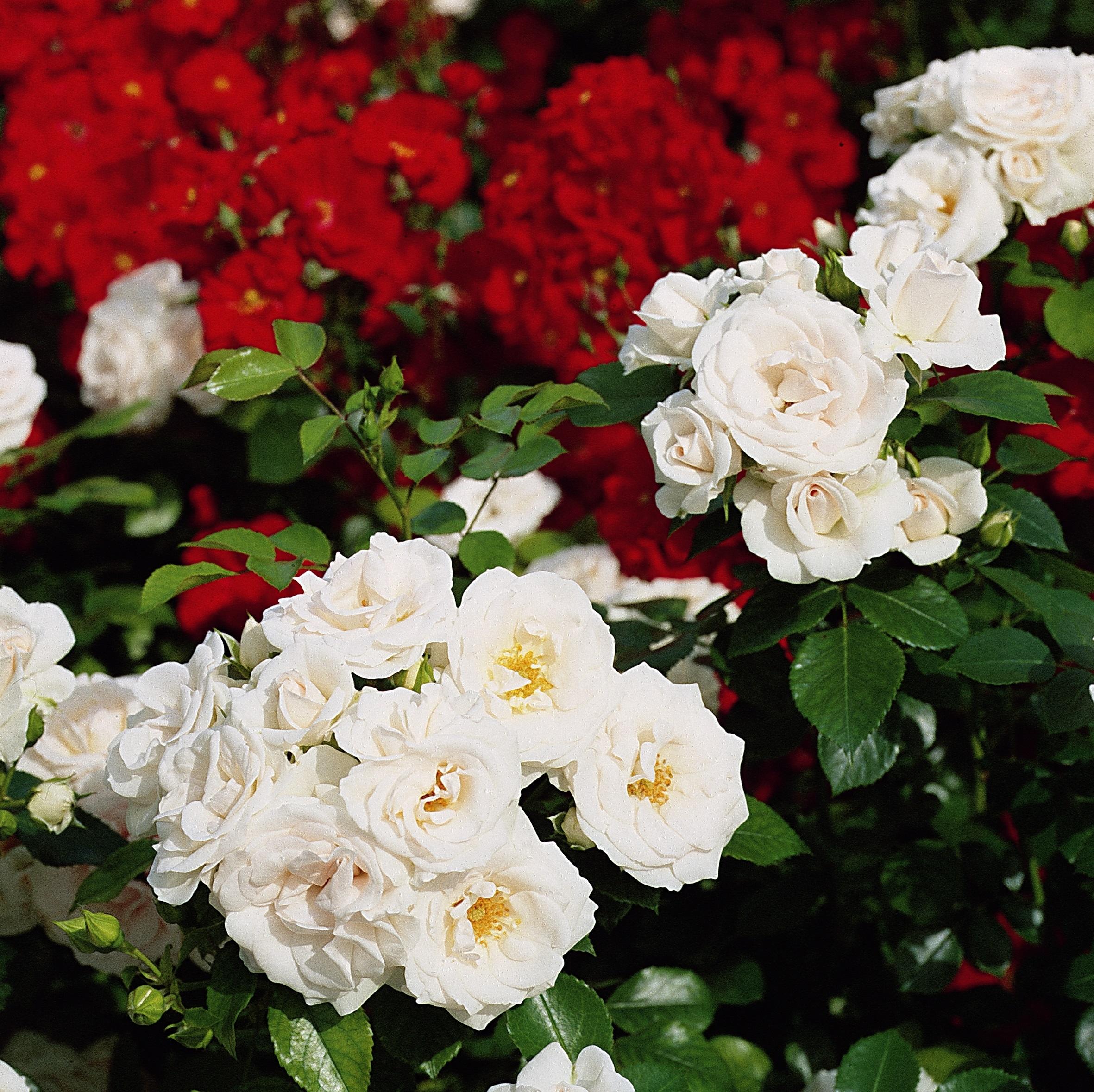 Egal ob für Vase oder Beet: Rosen aus NRW sind erste Wahl