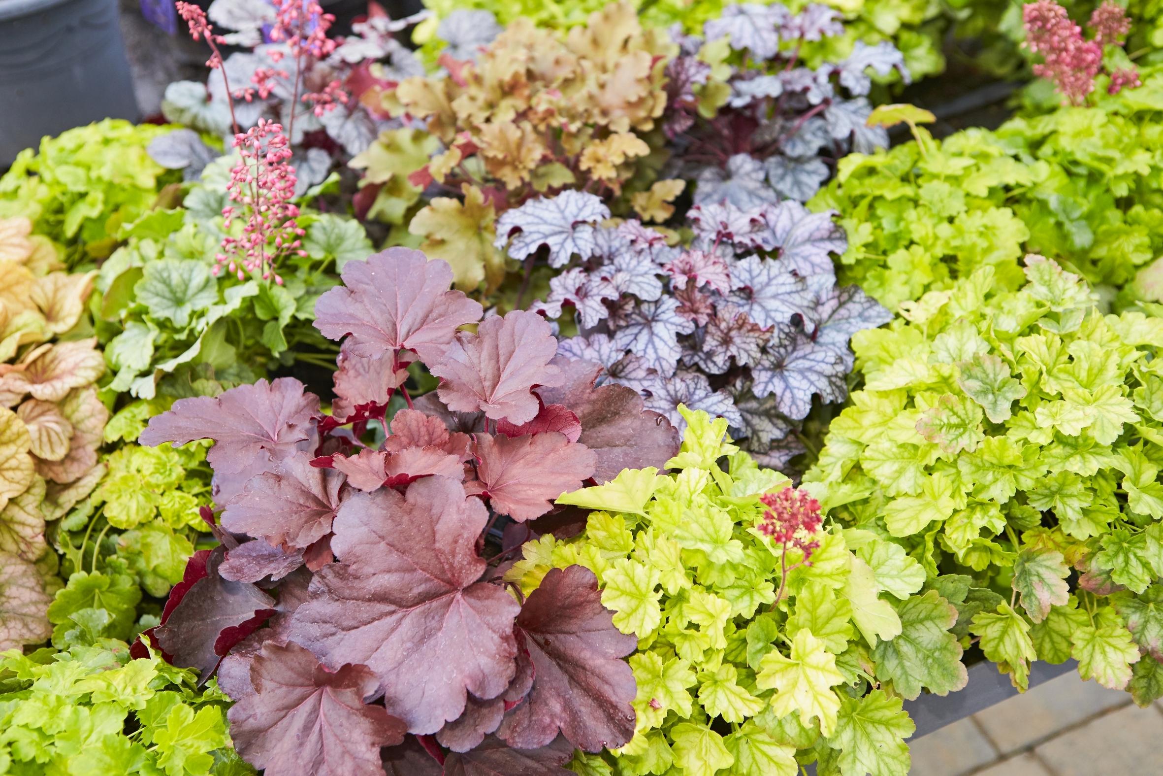 Für Struktur und Farbe sorgen: Blattschmuckpflanzen sind ein Blickfang im Herbst