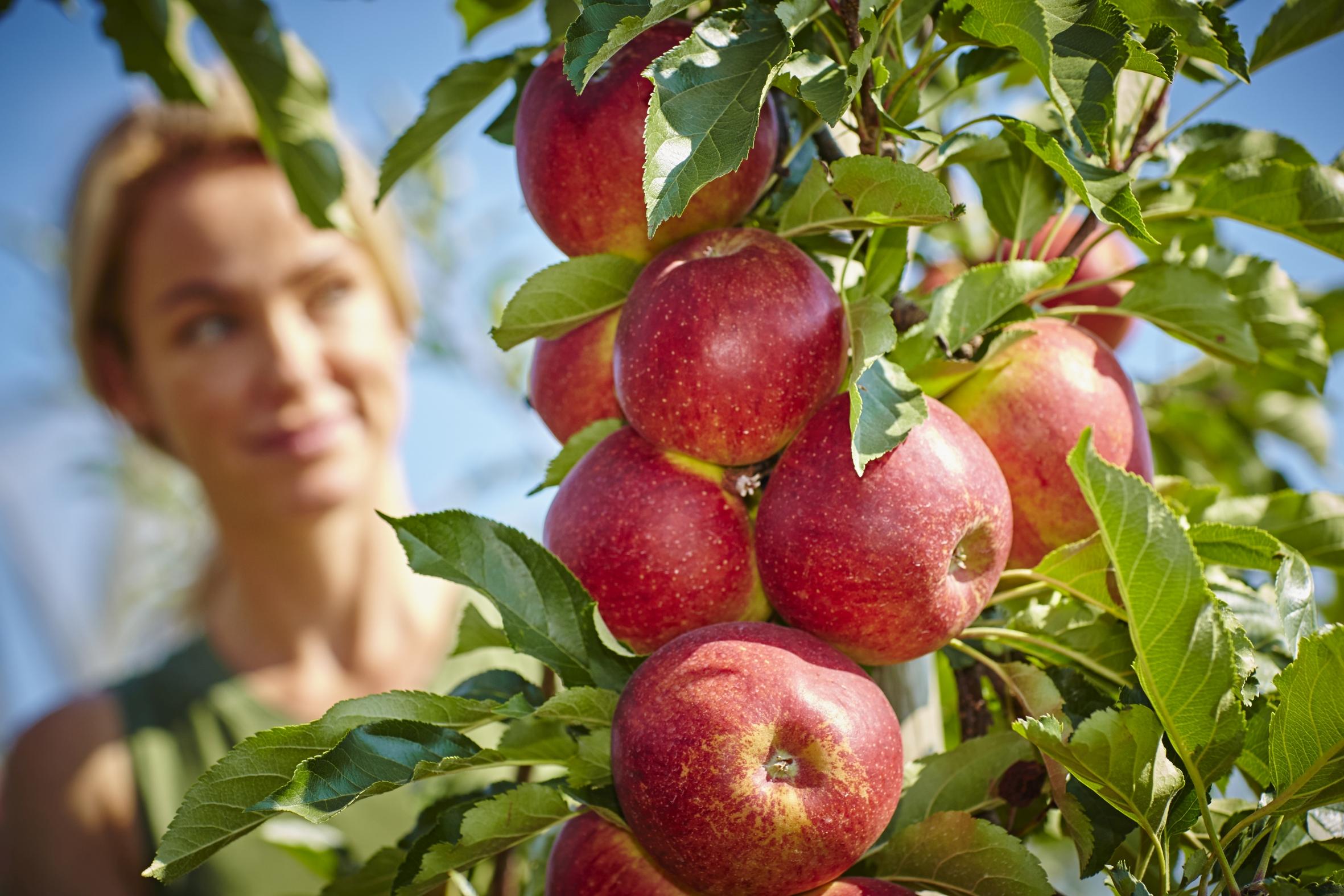 Saftig frische Äpfel aus deutschem Anbau: Jetzt genießen und gleichzeitig das Klima schützen