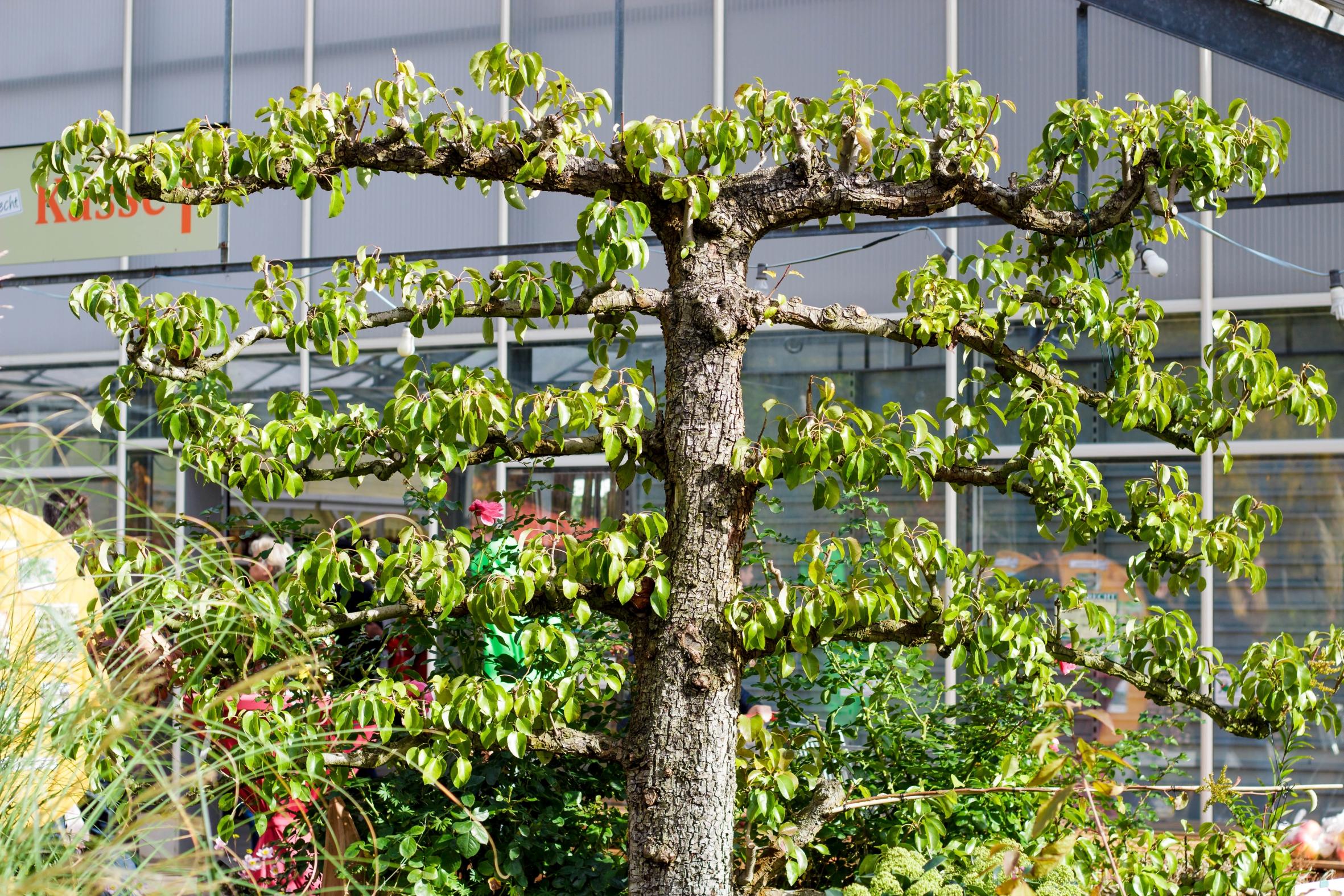 Früchte auf kleinstem Raum: Spalierobstbäume sind Kunstwerke des Gartenbaus