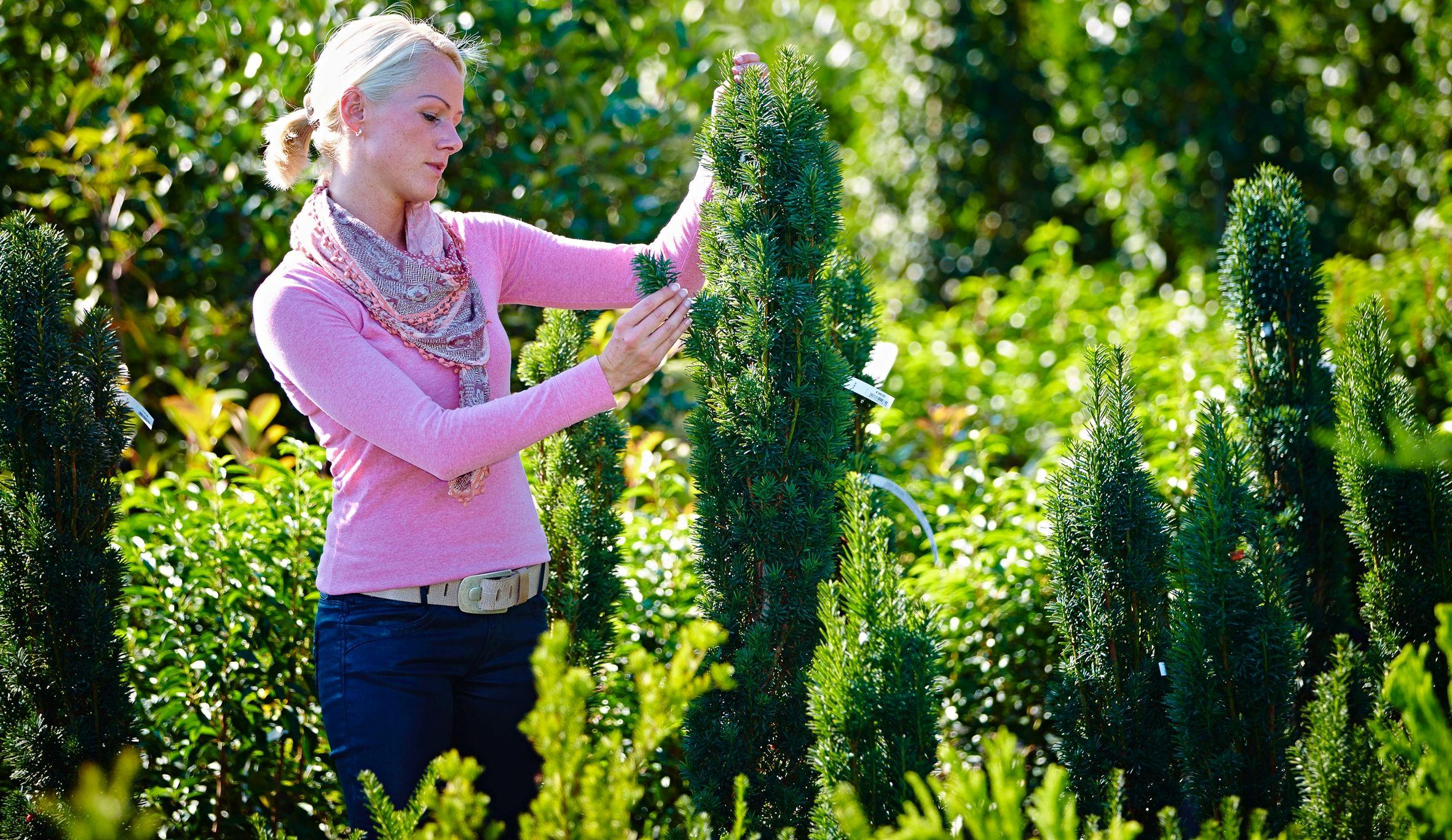 Damit der Winter grün wird: Nadelgehölze gibt es für jeden Geschmack