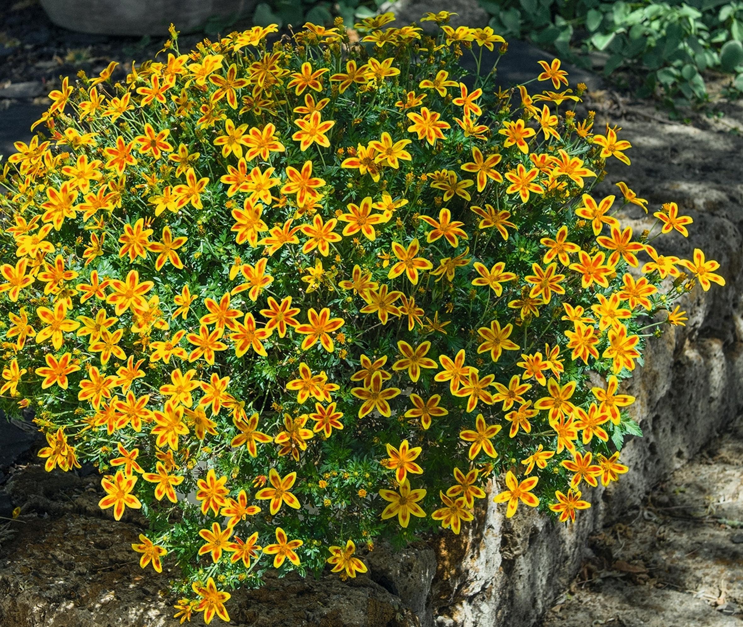 """Bidens """"Bienenstern"""" begeistert mit üppigem, zweifarbigem Blütenflor"""