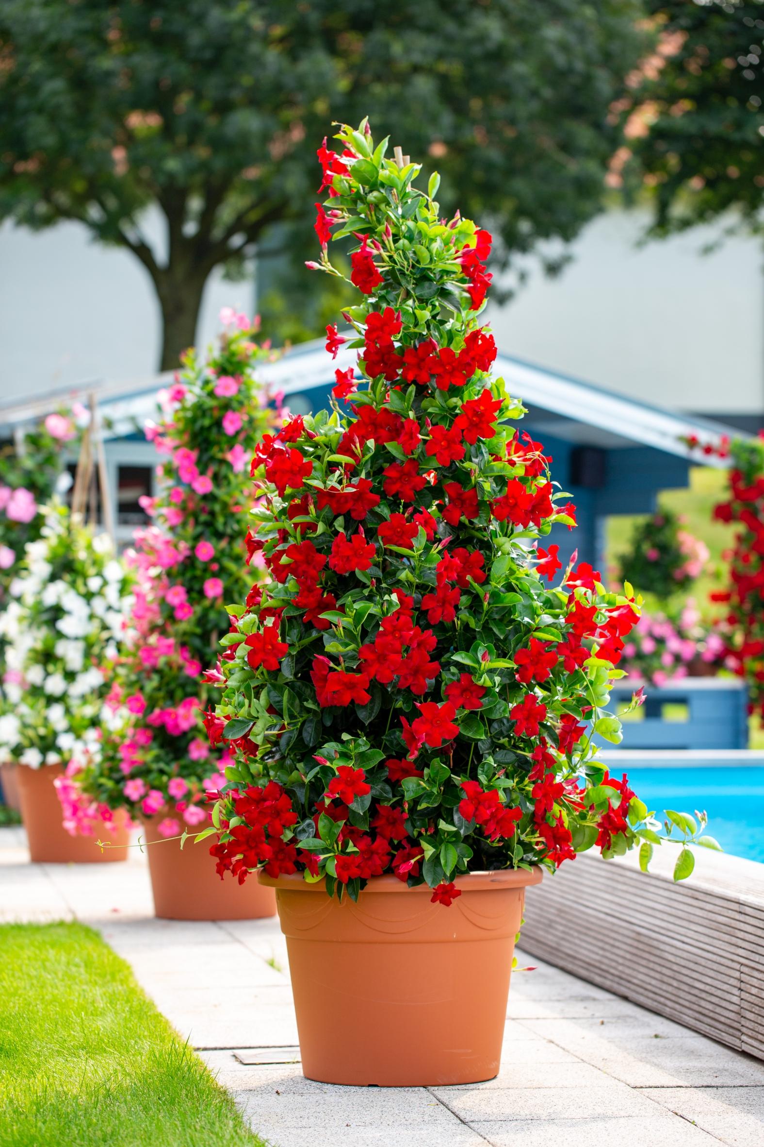 Mandevilla: Exotische Blühwunder kommen aus deutschen Gewächshäusern
