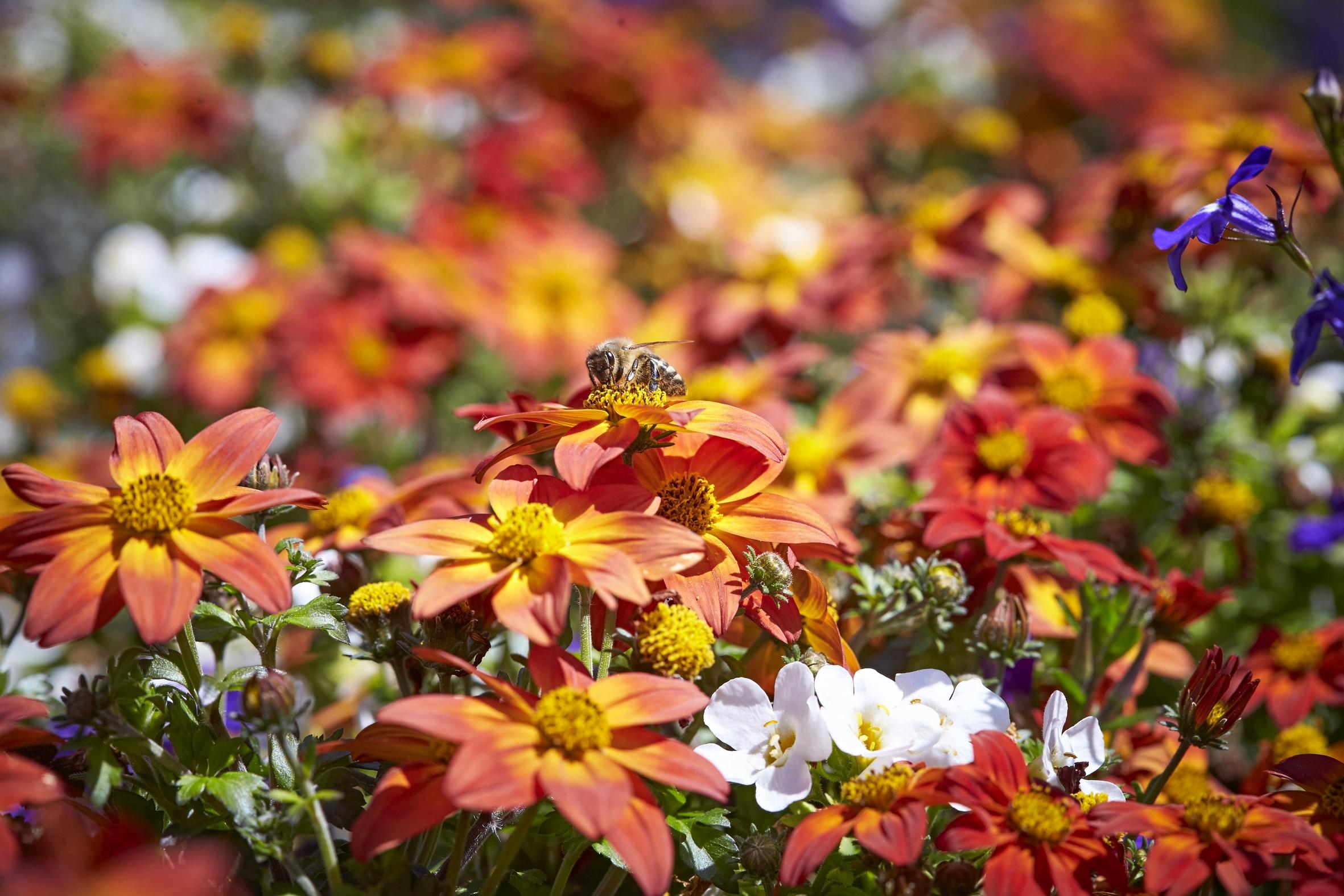 Jeder Quadratmeter zählt: Blühpflanzen für Beet und Balkon leisten wichtigen Beitrag zur Artenvielfalt