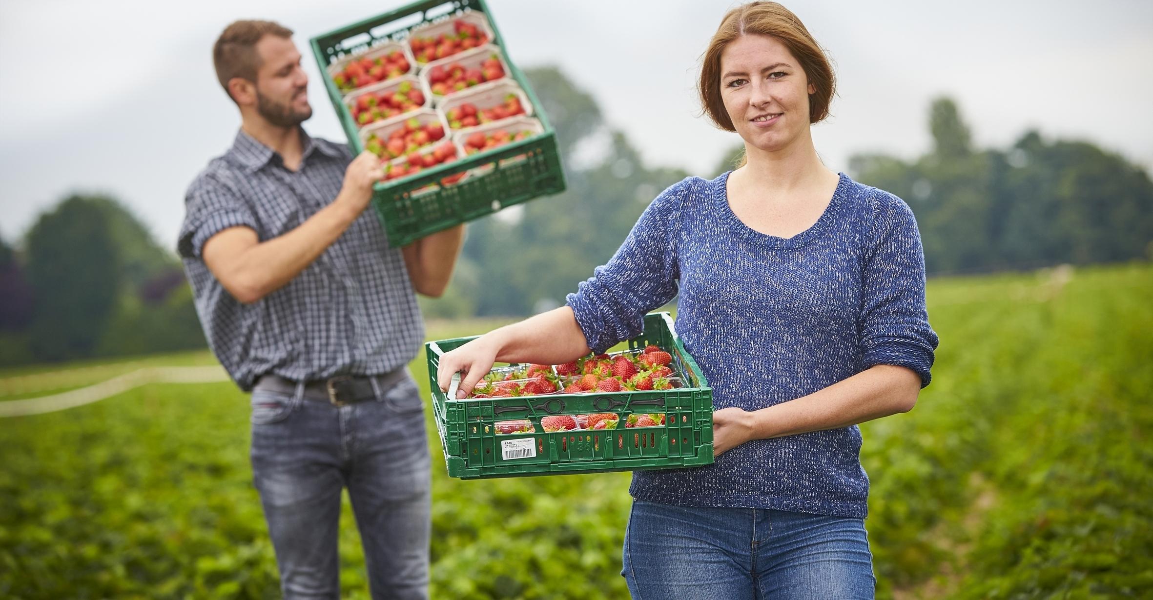Gesund und lecker: Endlich wieder Erdbeeren aus regionalem Anbau