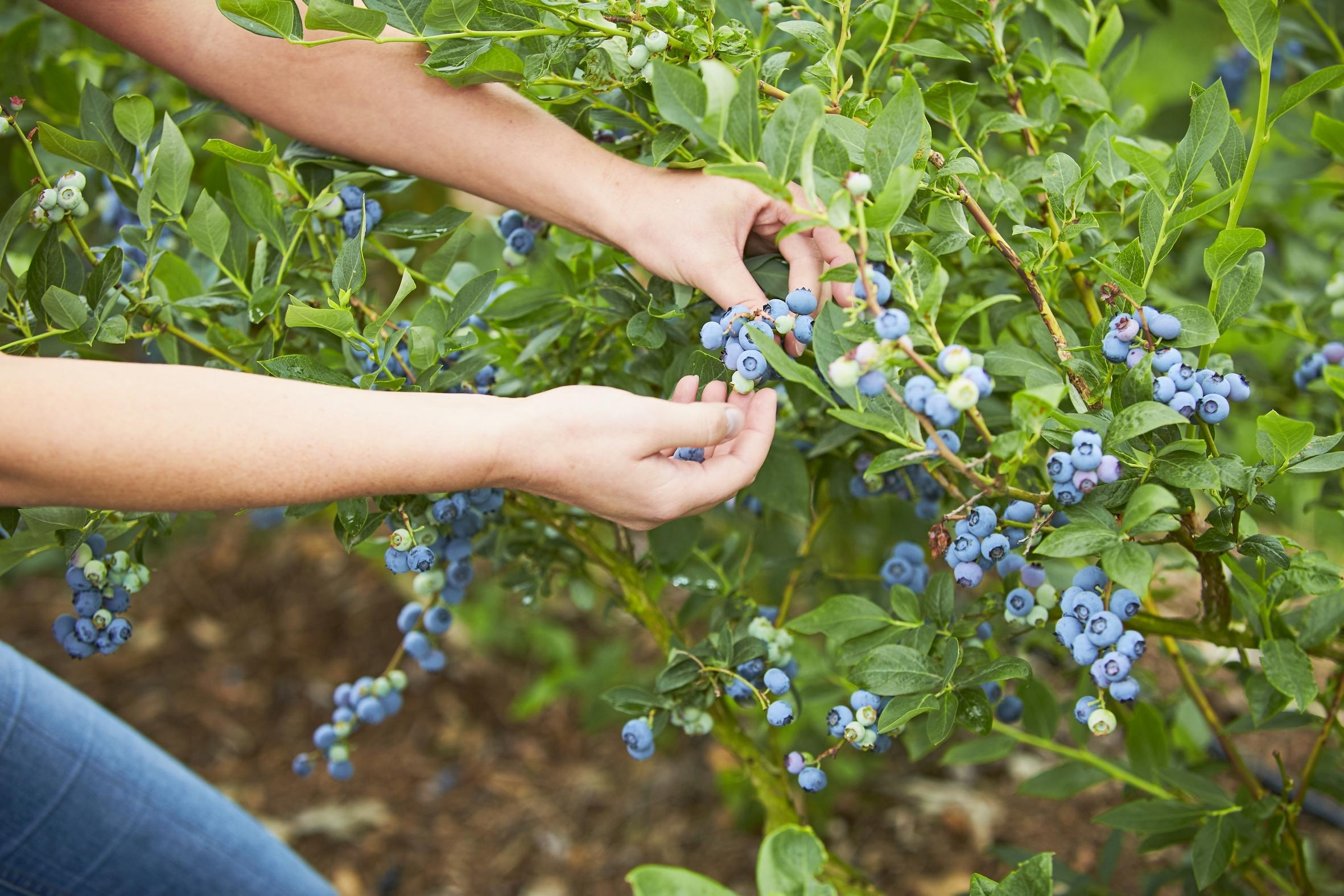 Blau, süß & einfach köstlich: Heidelbeeren aus heimischem Anbau