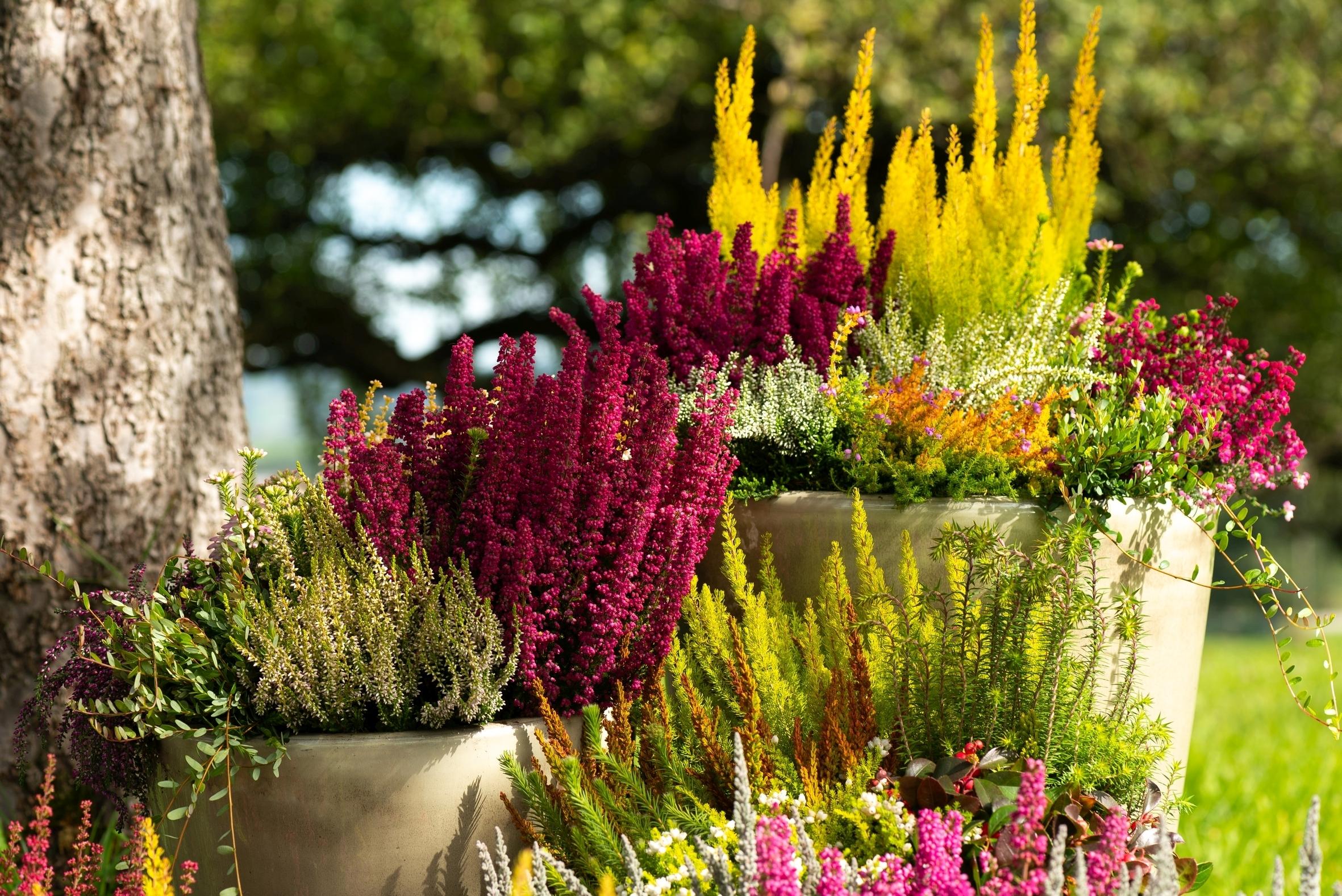 """""""Colour your Nature!"""" – Die zauberhafte Glockenheide """"Heidi's"""" bringt Farbe ins Leben und in jede Bepflanzung"""