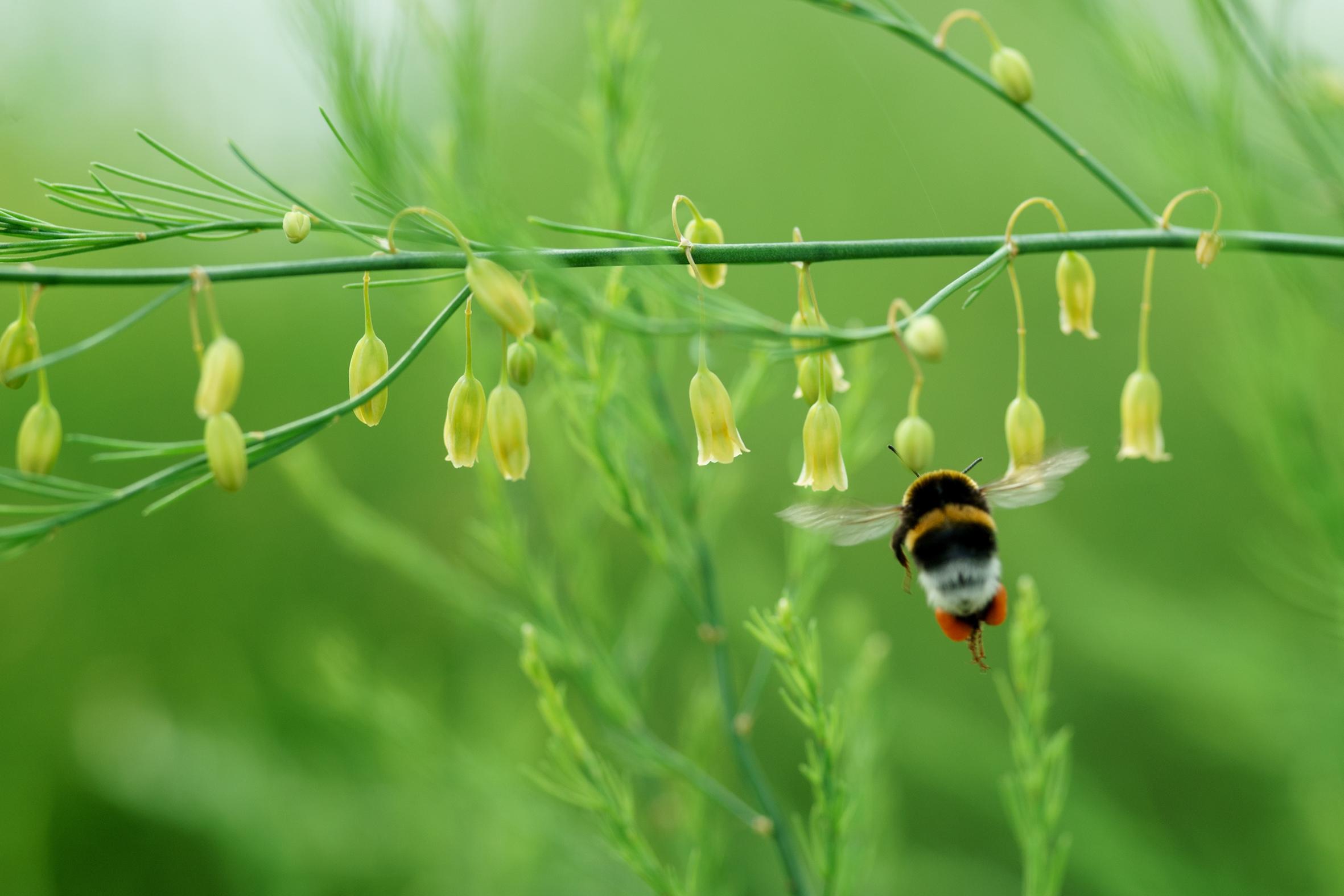 Auch Bienen und Hummeln fliegen auf Spargel – allerdings erst nach dem Austrieb